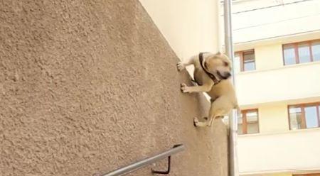 Drsnej parkurovej pes