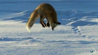Úchvatné záběry - liška na lovu