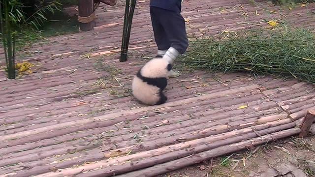Těžký život pandy