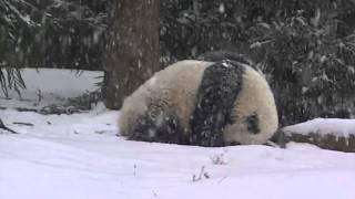 Panda a první sníh