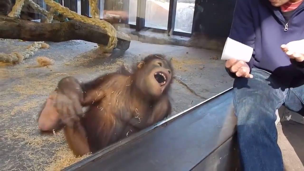 Naivní trik, po kterým se i orangutan válí smíchy :)