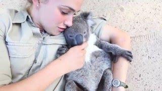 Tulící se Koala